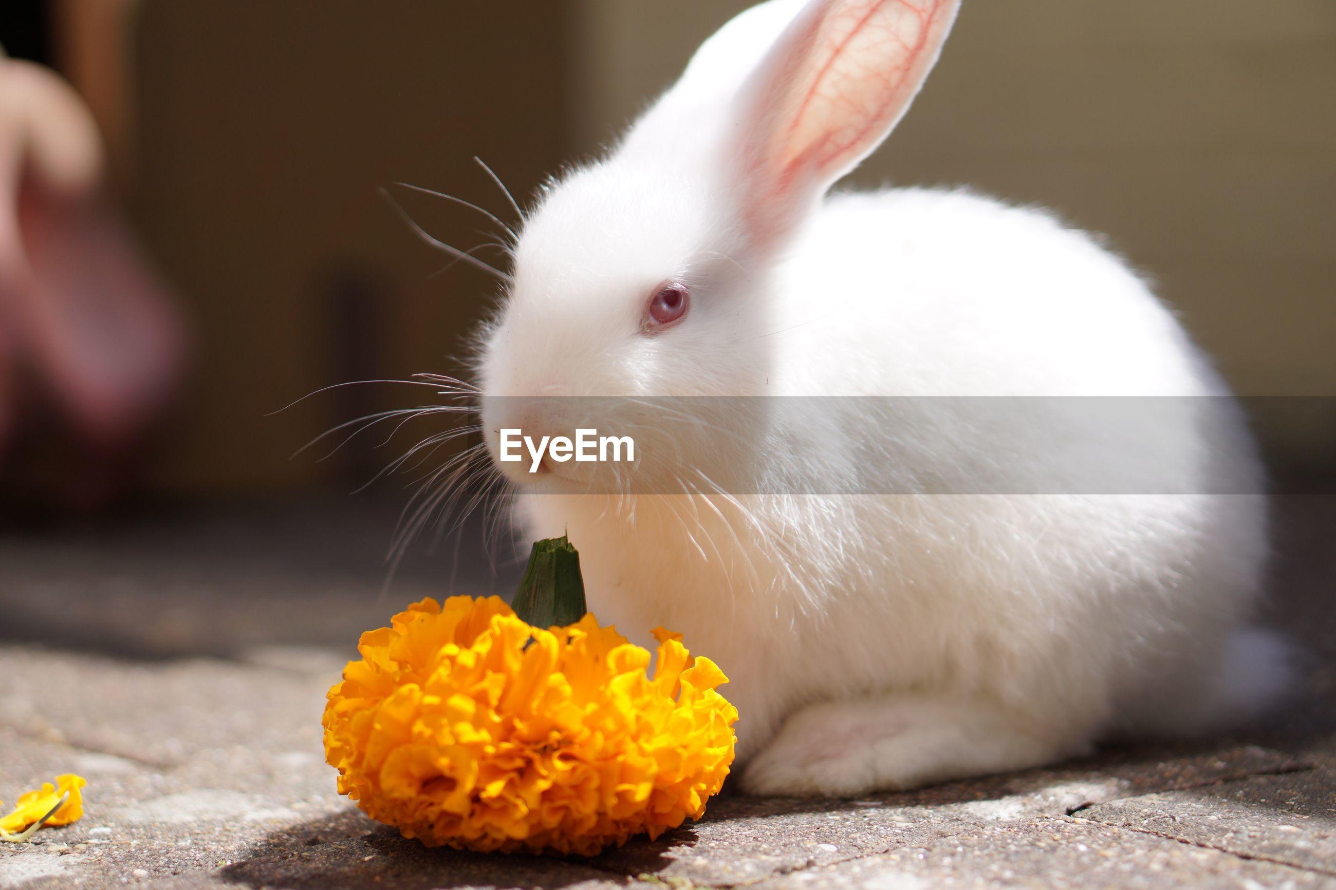 Close-up of white rabbit by marigold on sidewalk