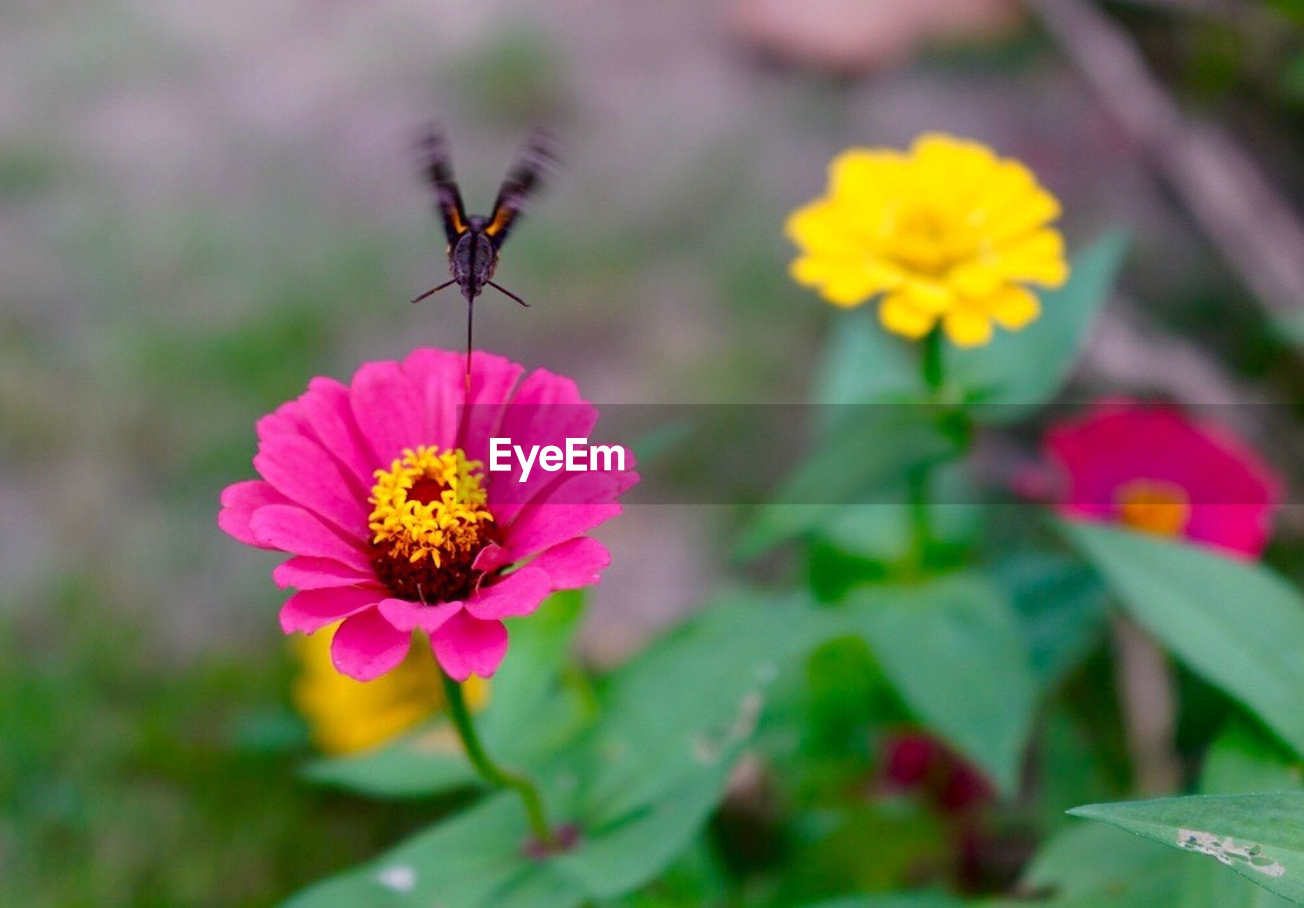 flower, petal, fragility, freshness, flower head, beauty in nature, growth, nature, no people, day, blooming, insect, plant, pollen, outdoors, pink color, animals in the wild, animal themes, zinnia, close-up
