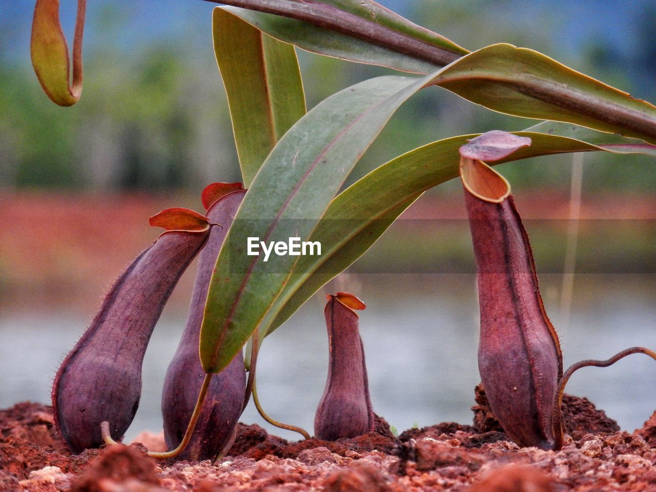 Close-Up Of Pitcher Plants Growing Outdoors