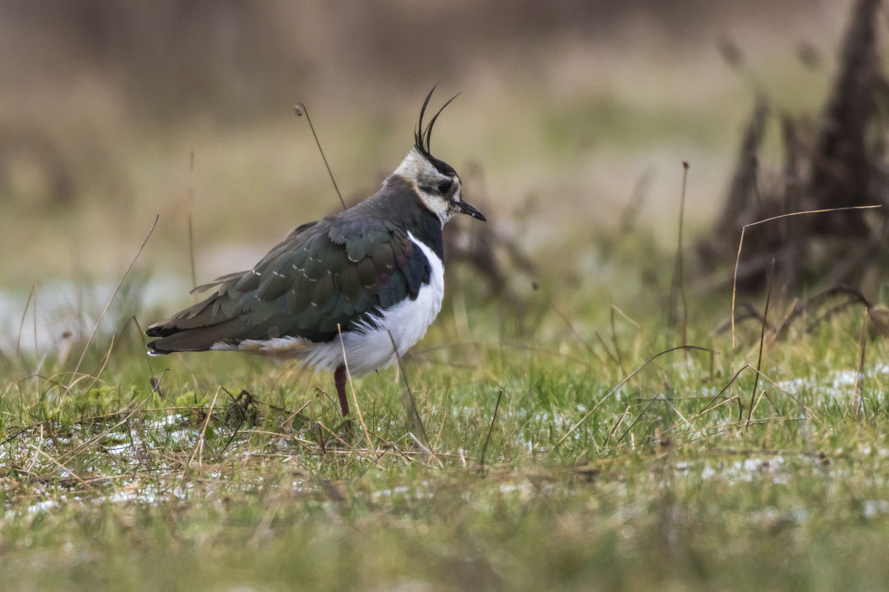 animal wildlife, animals in the wild, grass, animal, animal themes, selective focus, vertebrate, one animal, plant, bird, land, field, day, nature, no people, outdoors, growth, side view, green color, close-up