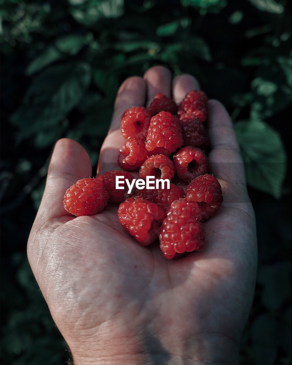Cropped Hand Holding Raspberries Against Plants