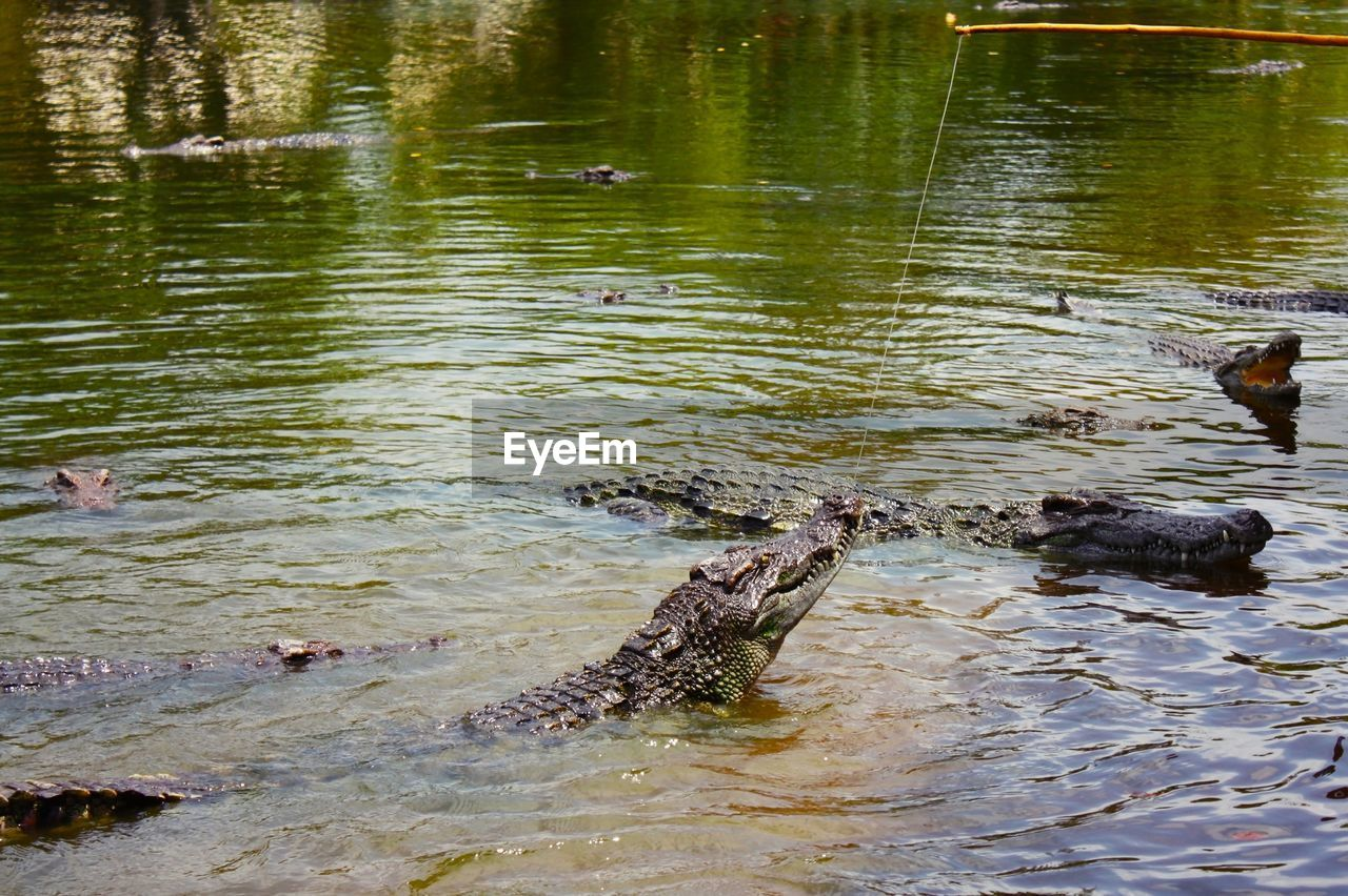 water, animal themes, river, reptile, animals in the wild, nature, day, outdoors, animal wildlife, no people, one animal, swimming, crocodile, alligator, hippopotamus, mammal, tree, bird