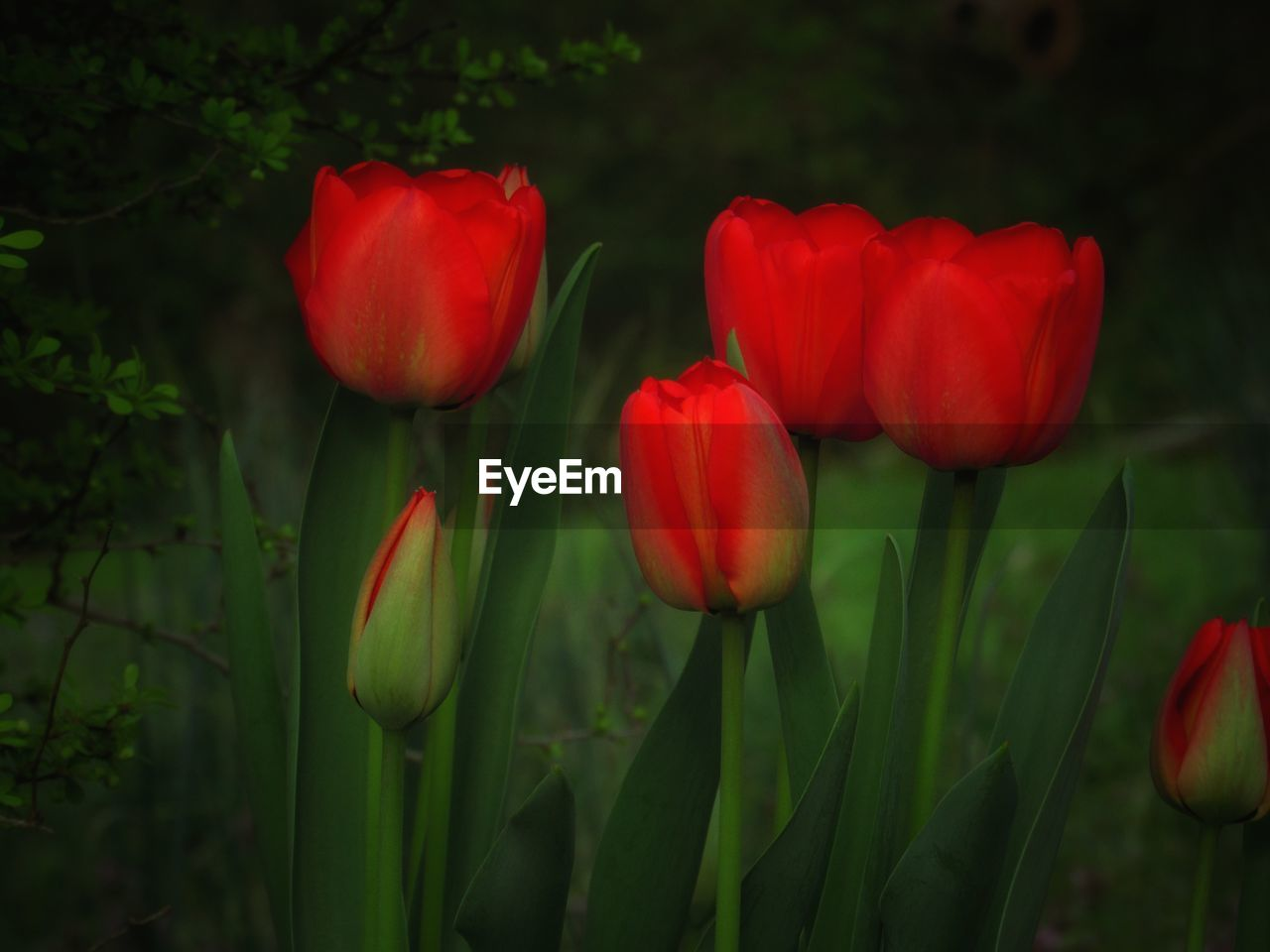 plant, flowering plant, flower, beauty in nature, freshness, petal, fragility, growth, vulnerability, close-up, flower head, red, tulip, inflorescence, nature, green color, land, field, focus on foreground, plant stem, no people, outdoors