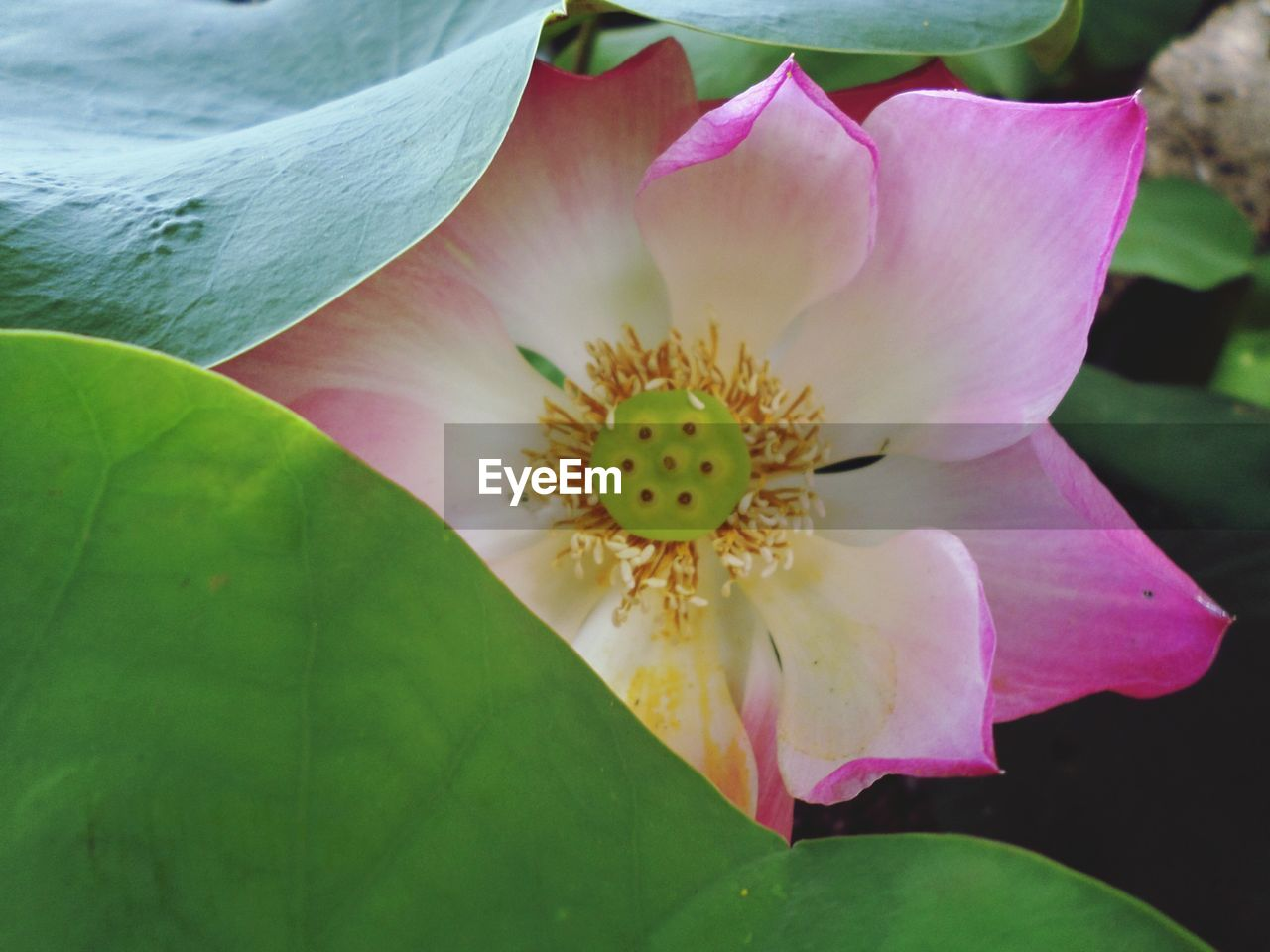 CLOSE-UP OF PINK WATER LILY IN GARDEN