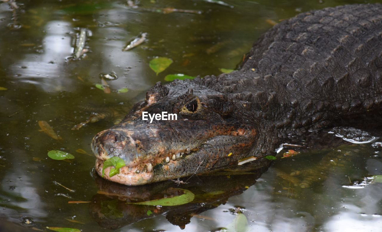 water, animal, animal themes, animal wildlife, animals in the wild, one animal, vertebrate, lake, crocodile, reptile, swimming, animal body part, no people, nature, day, close-up, underwater, animal head, outdoors, mouth open, swamp
