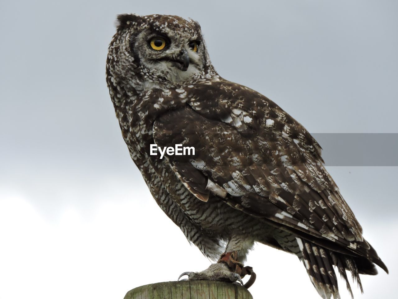 Low Angle View Of Eagle Owl Perching On Wood Against Sky