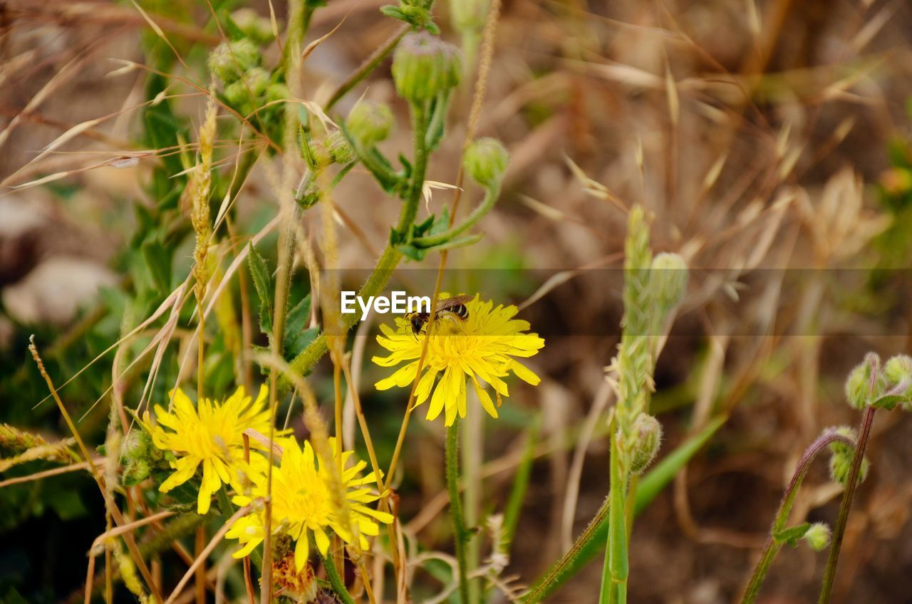 flower, insect, nature, yellow, growth, bee, plant, animals in the wild, animal themes, fragility, petal, outdoors, beauty in nature, one animal, no people, day, pollination, freshness, flower head, close-up, buzzing
