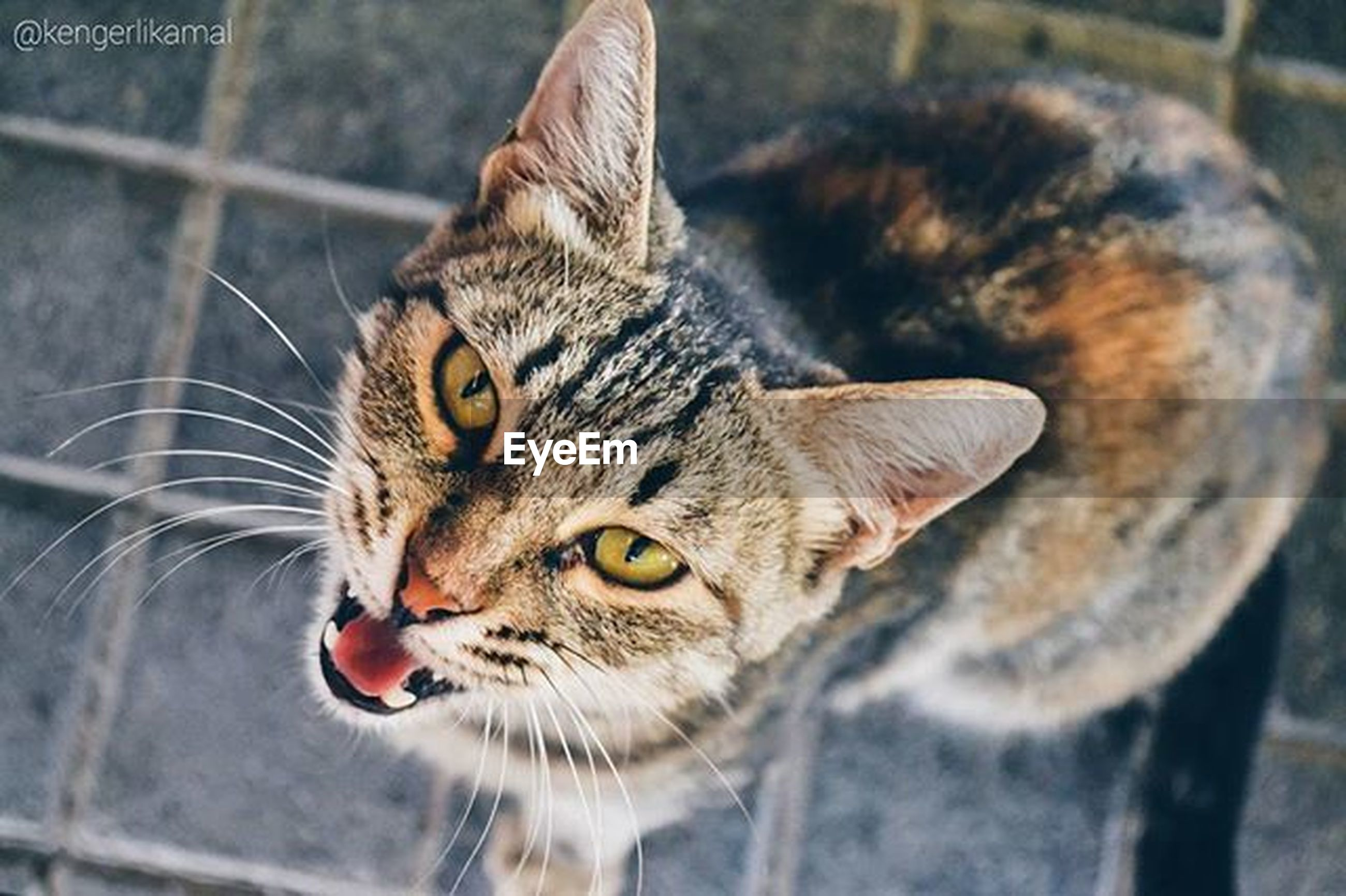 domestic cat, one animal, cat, animal themes, feline, pets, whisker, mammal, domestic animals, portrait, looking at camera, focus on foreground, close-up, animal head, staring, alertness, front view, animal eye, tabby