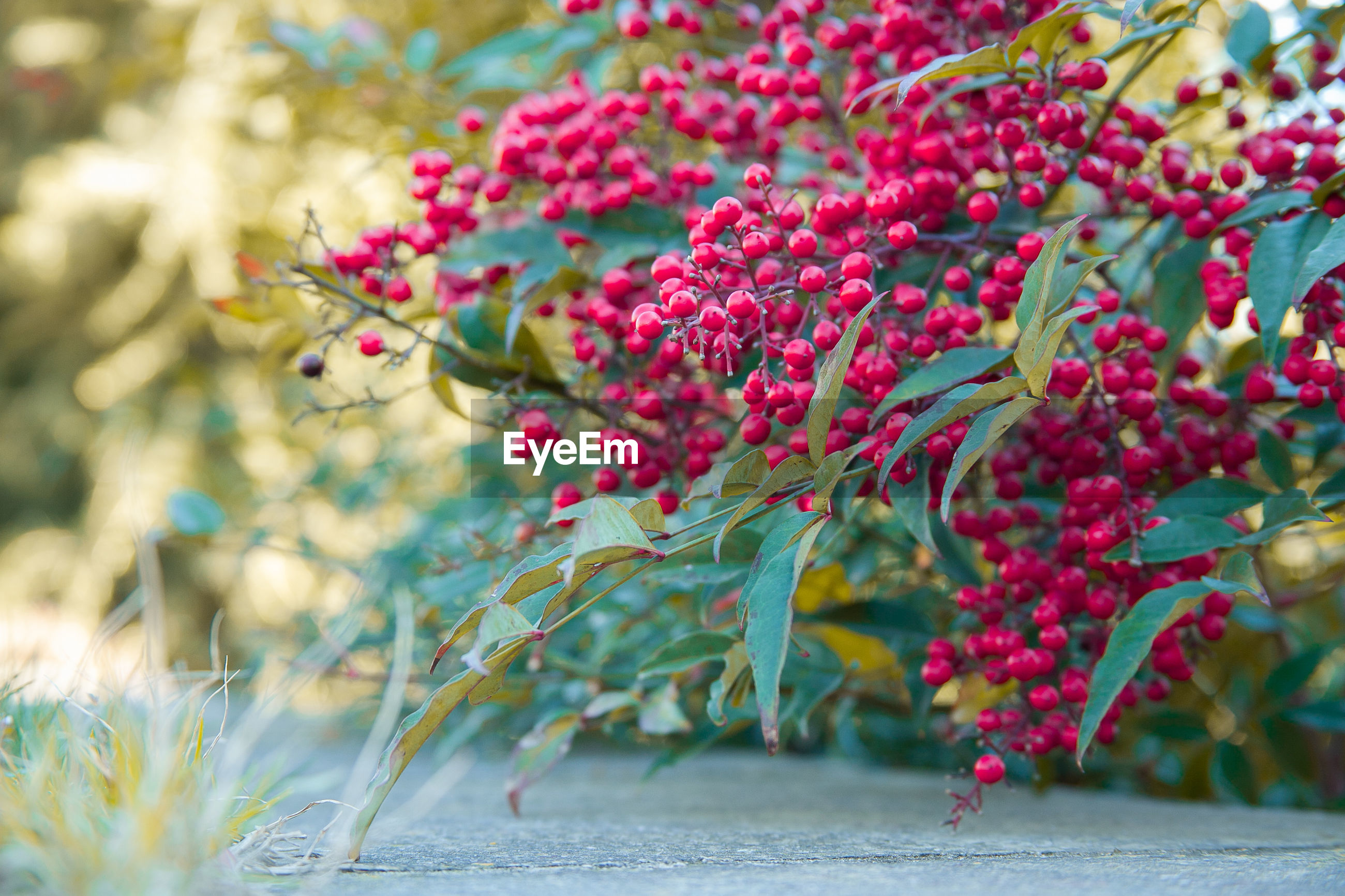 CLOSE-UP OF RED BERRIES GROWING ON PLANT