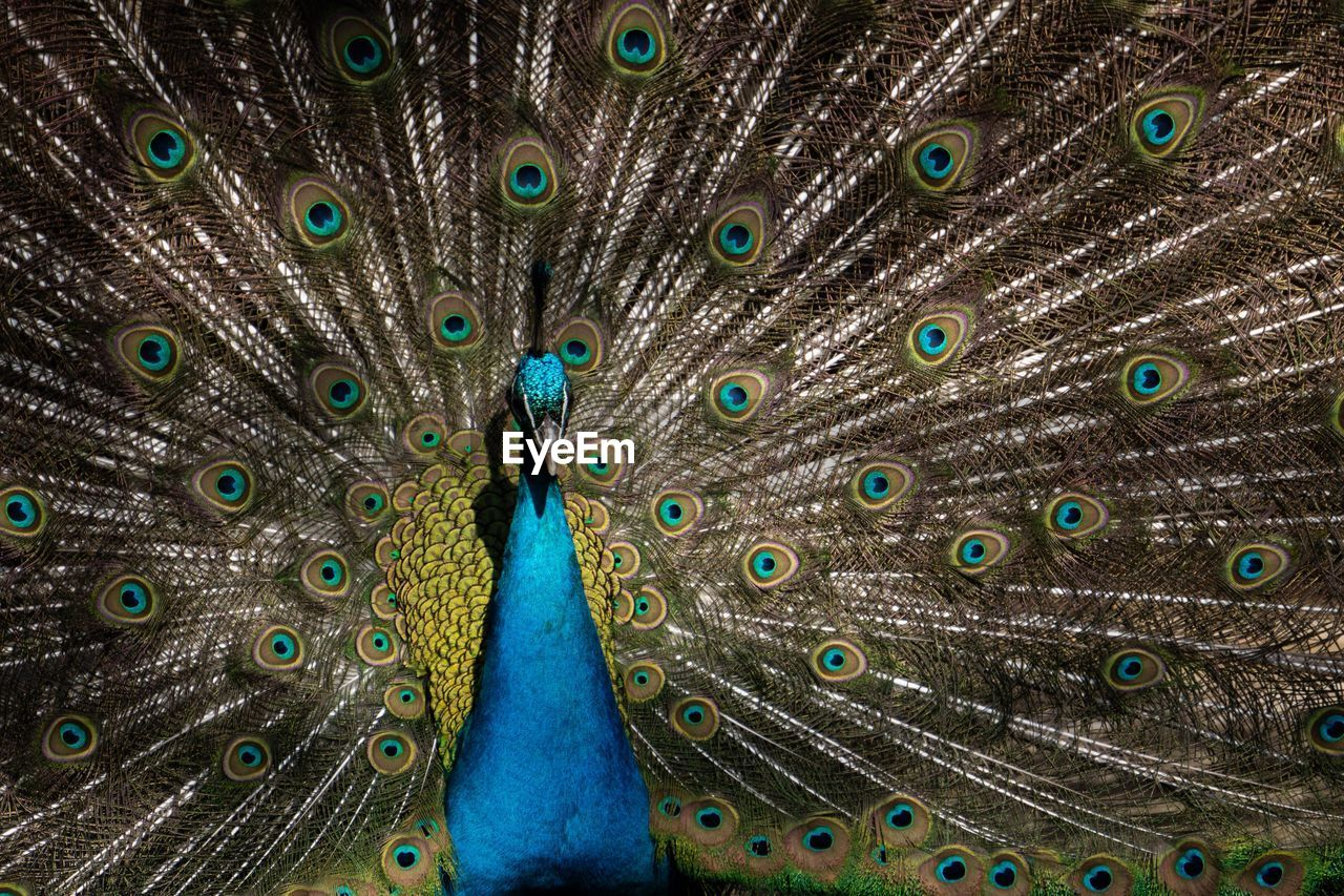 animal themes, peacock, animal, bird, animal wildlife, feather, vertebrate, one animal, peacock feather, animals in the wild, fanned out, no people, close-up, full frame, day, beauty in nature, outdoors, blue, multi colored, natural pattern, animal head