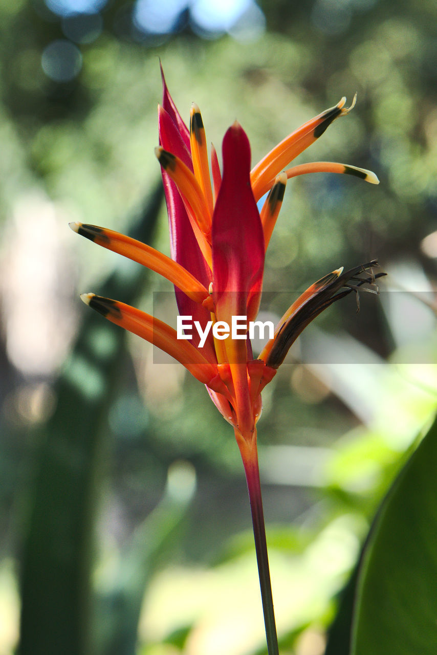 flower, flowering plant, beauty in nature, plant, vulnerability, fragility, growth, close-up, focus on foreground, freshness, petal, inflorescence, nature, day, no people, flower head, botany, orange color, red, outdoors