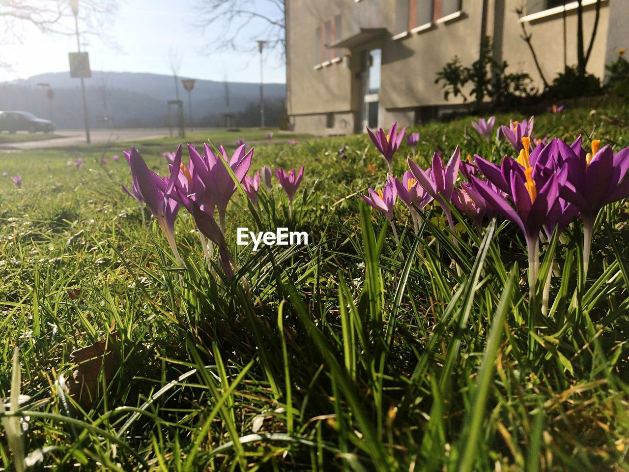 flower, beauty in nature, growth, nature, petal, fragility, freshness, purple, no people, outdoors, day, flower head, grass, plant, blooming, close-up, building exterior, crocus