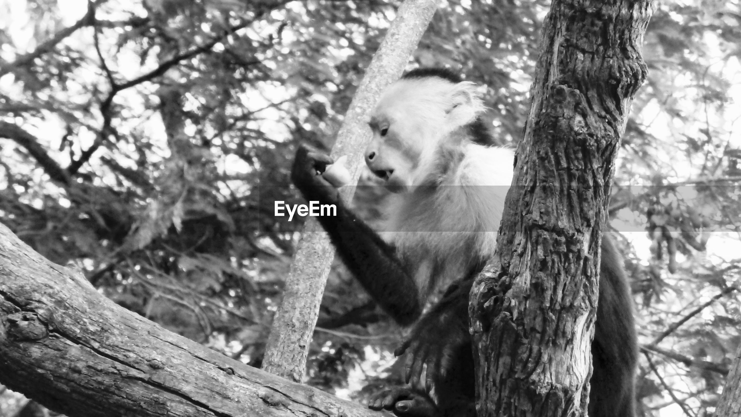 Low angle view of capuchin monkey on tree