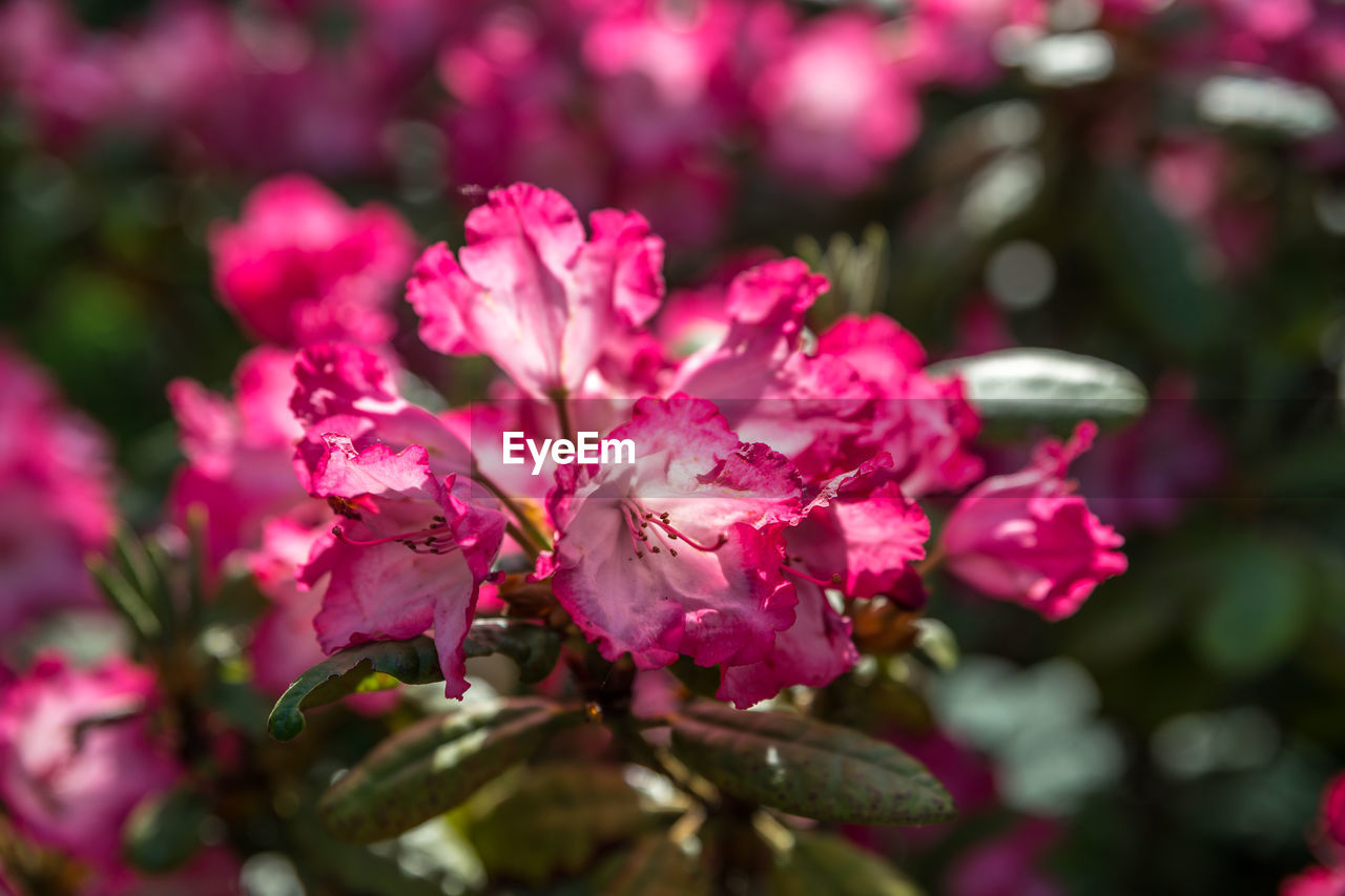 flowering plant, flower, pink color, plant, beauty in nature, fragility, vulnerability, freshness, growth, petal, close-up, selective focus, nature, no people, day, inflorescence, flower head, outdoors, botany, blossom, springtime, pollen, cherry blossom, lilac