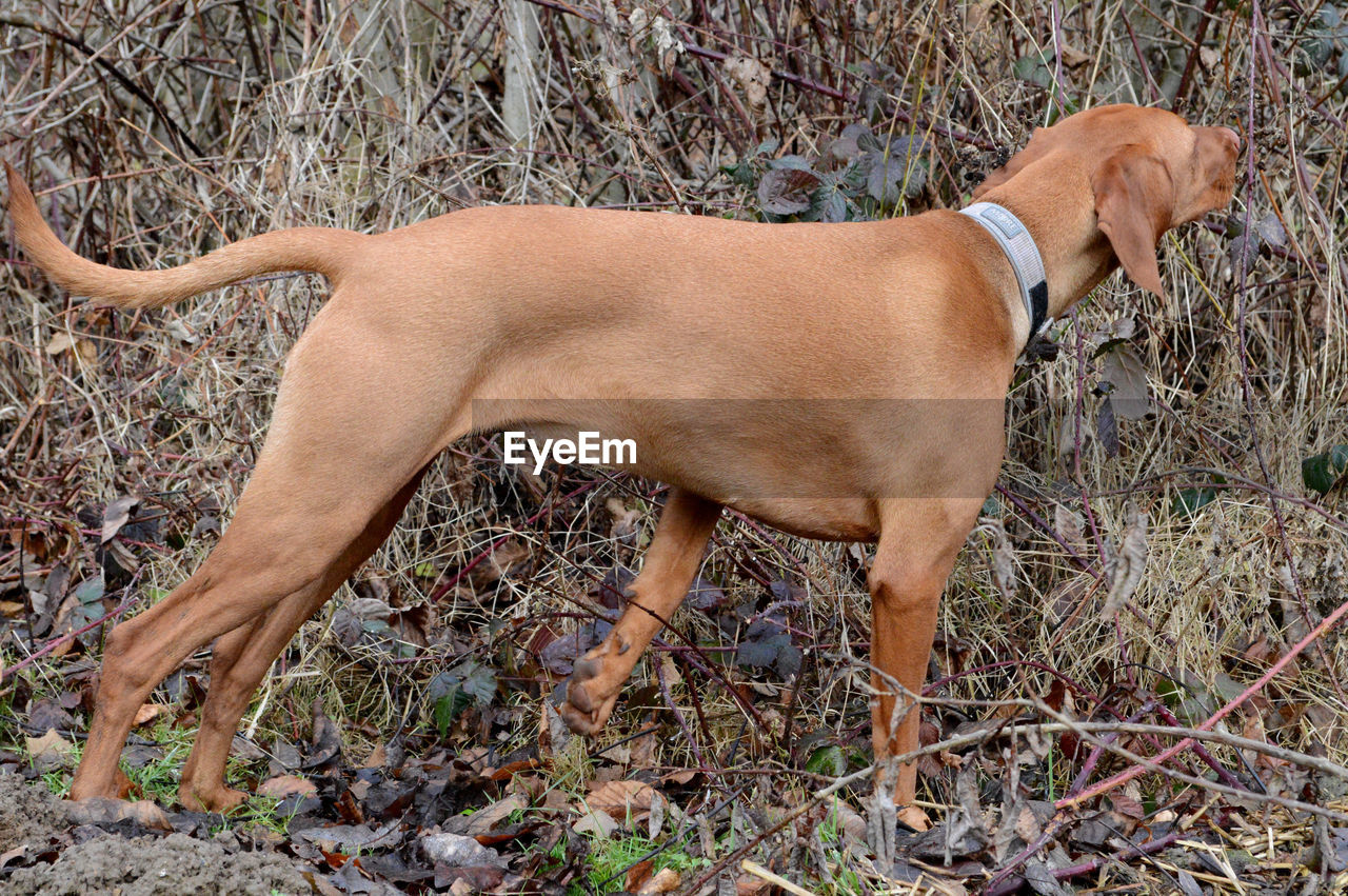one animal, dog, animal themes, pets, domestic animals, mammal, field, no people, outdoors, day, full length, grass, standing, nature