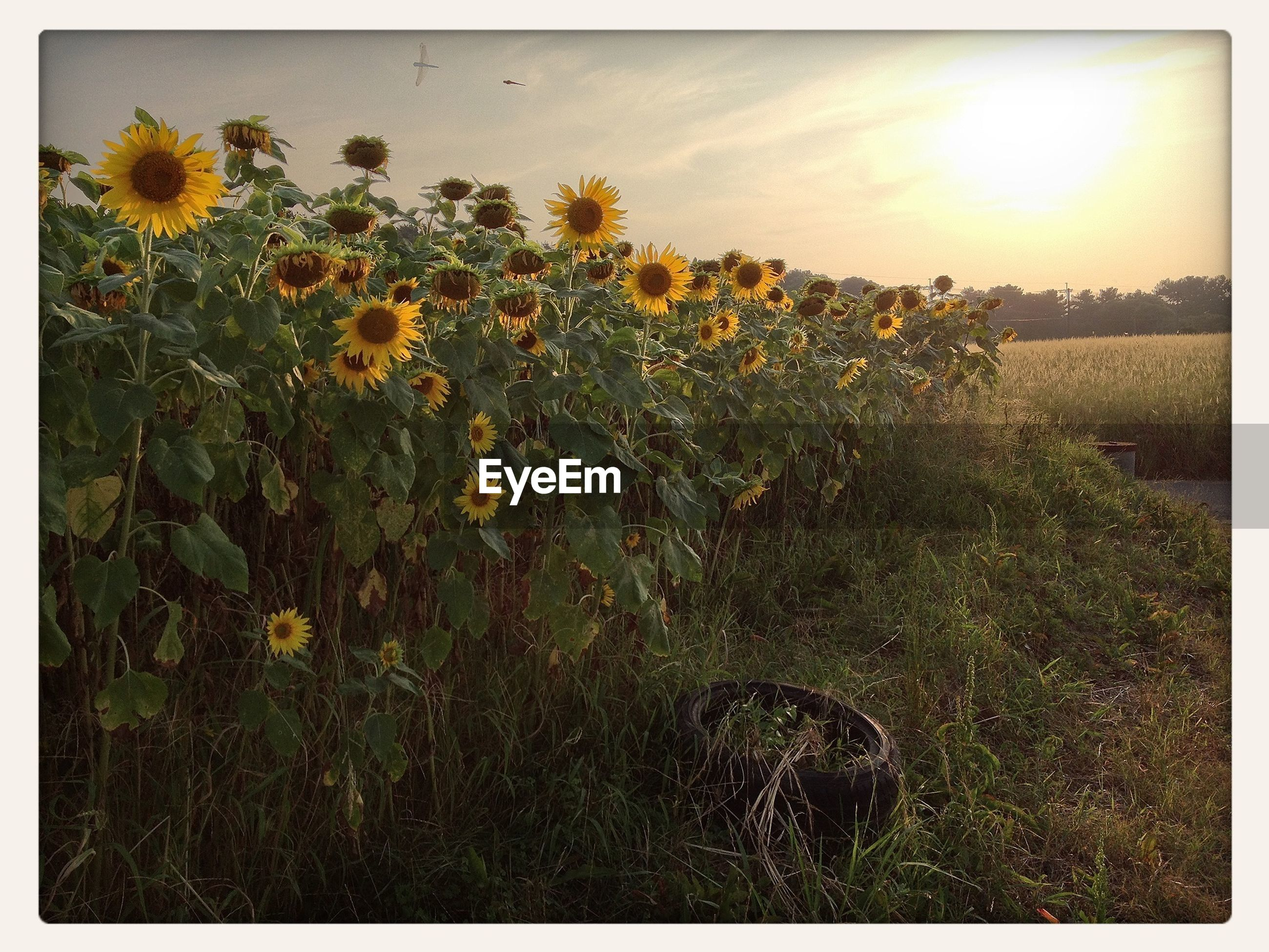 flower, growth, freshness, field, beauty in nature, plant, fragility, yellow, nature, sunlight, sky, blooming, petal, transfer print, sun, grass, auto post production filter, stem, tranquility, in bloom