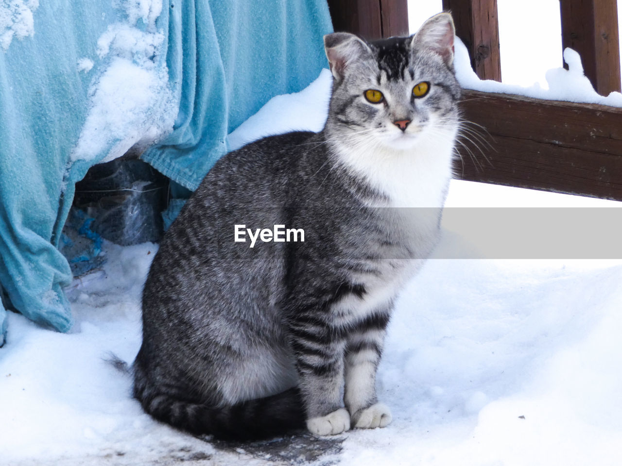 pets, domestic, cat, domestic cat, feline, domestic animals, mammal, vertebrate, one animal, snow, winter, cold temperature, sitting, no people, looking away, day, whisker