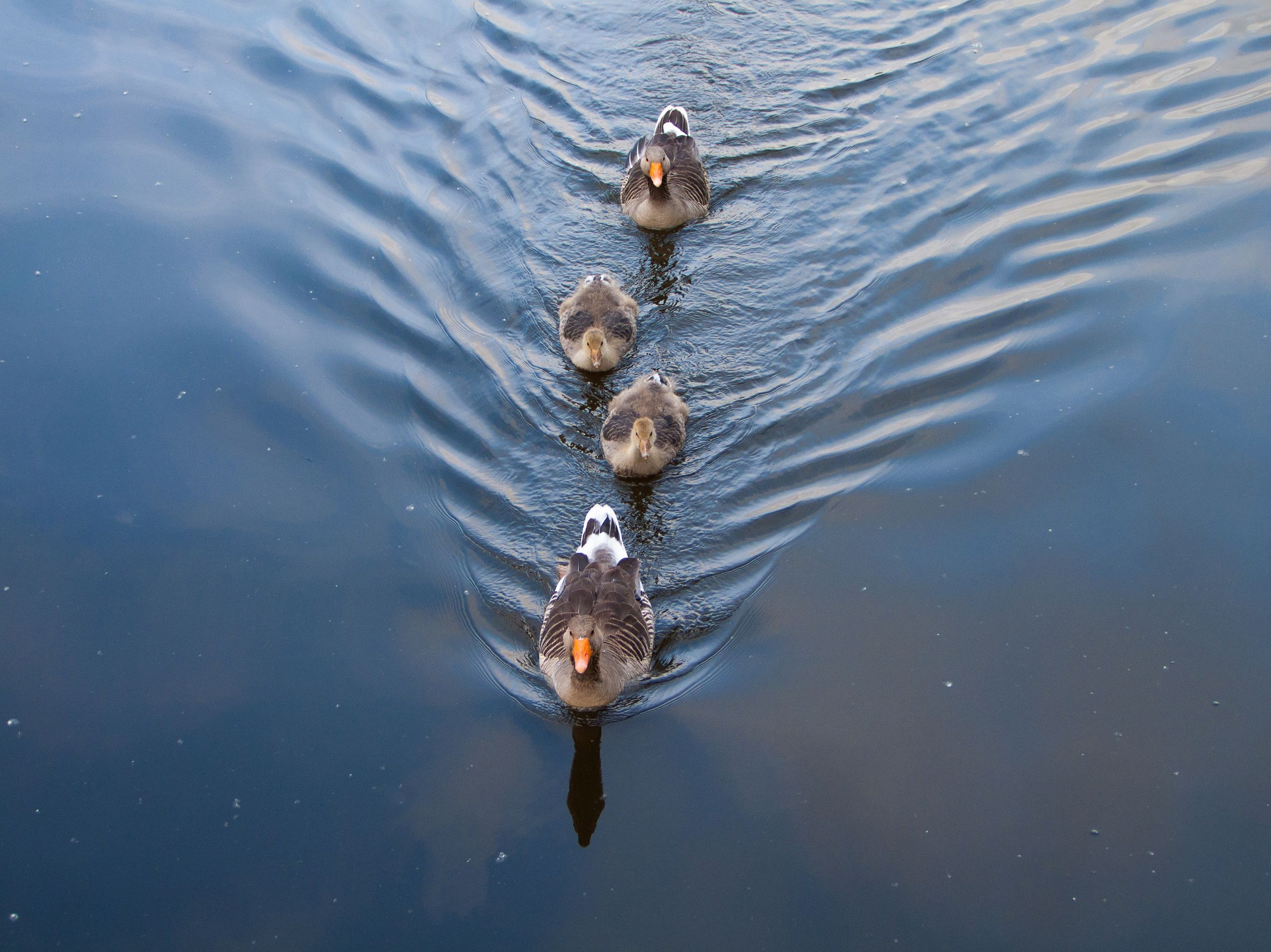 High angle view of geese swimming in pond