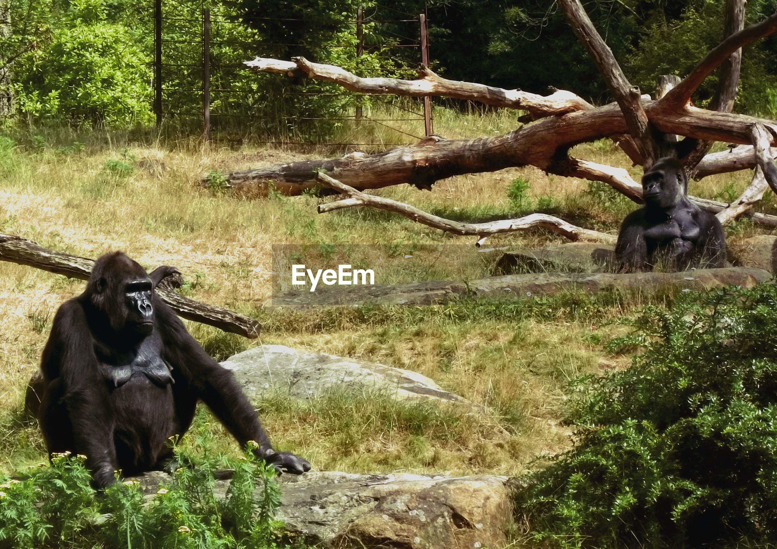 Gorillas sitting on grassland