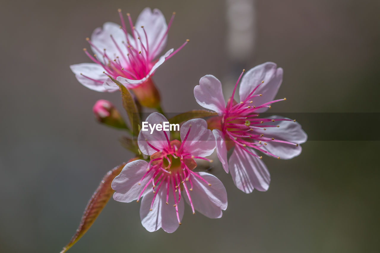 flower, petal, nature, fragility, beauty in nature, growth, freshness, flower head, plant, blossom, blooming, no people, close-up, pink color, outdoors, day