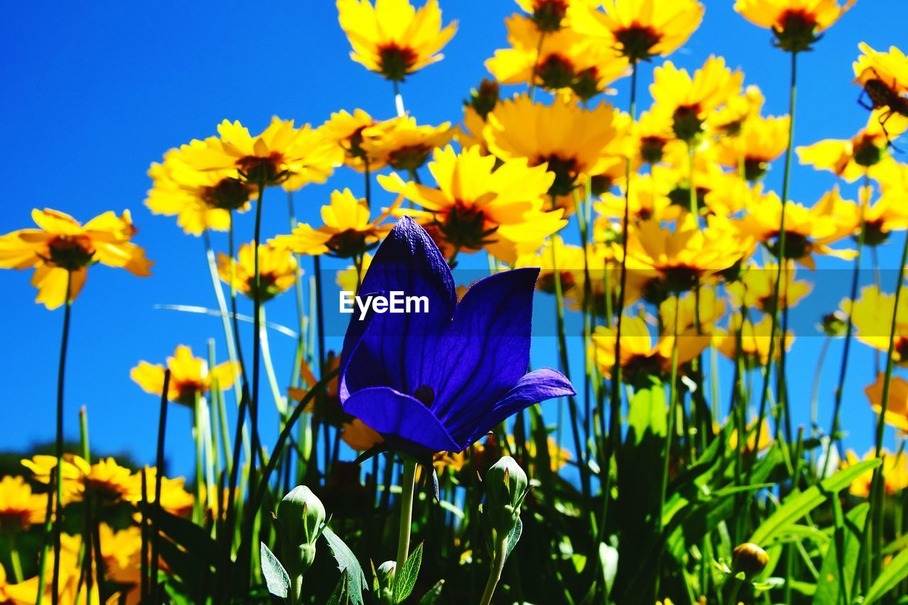 flower, petal, fragility, beauty in nature, growth, freshness, nature, flower head, plant, blue, blooming, day, springtime, yellow, no people, outdoors, purple, focus on foreground, sunlight, close-up, clear sky, crocus
