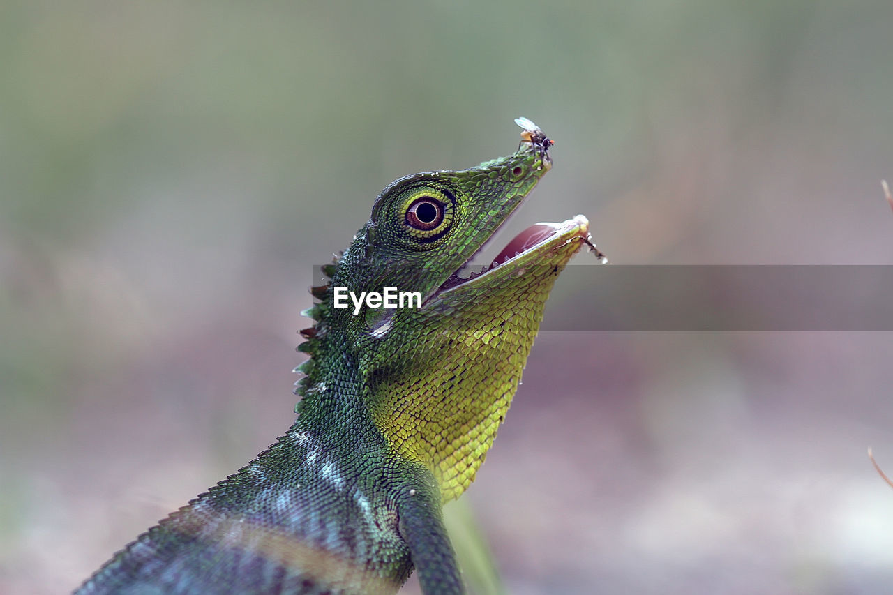 animal themes, animal, animals in the wild, one animal, focus on foreground, vertebrate, close-up, lizard, animal wildlife, green color, no people, nature, day, side view, reptile, outdoors, animal body part, beauty in nature, bird, selective focus, profile view, animal scale, animal eye