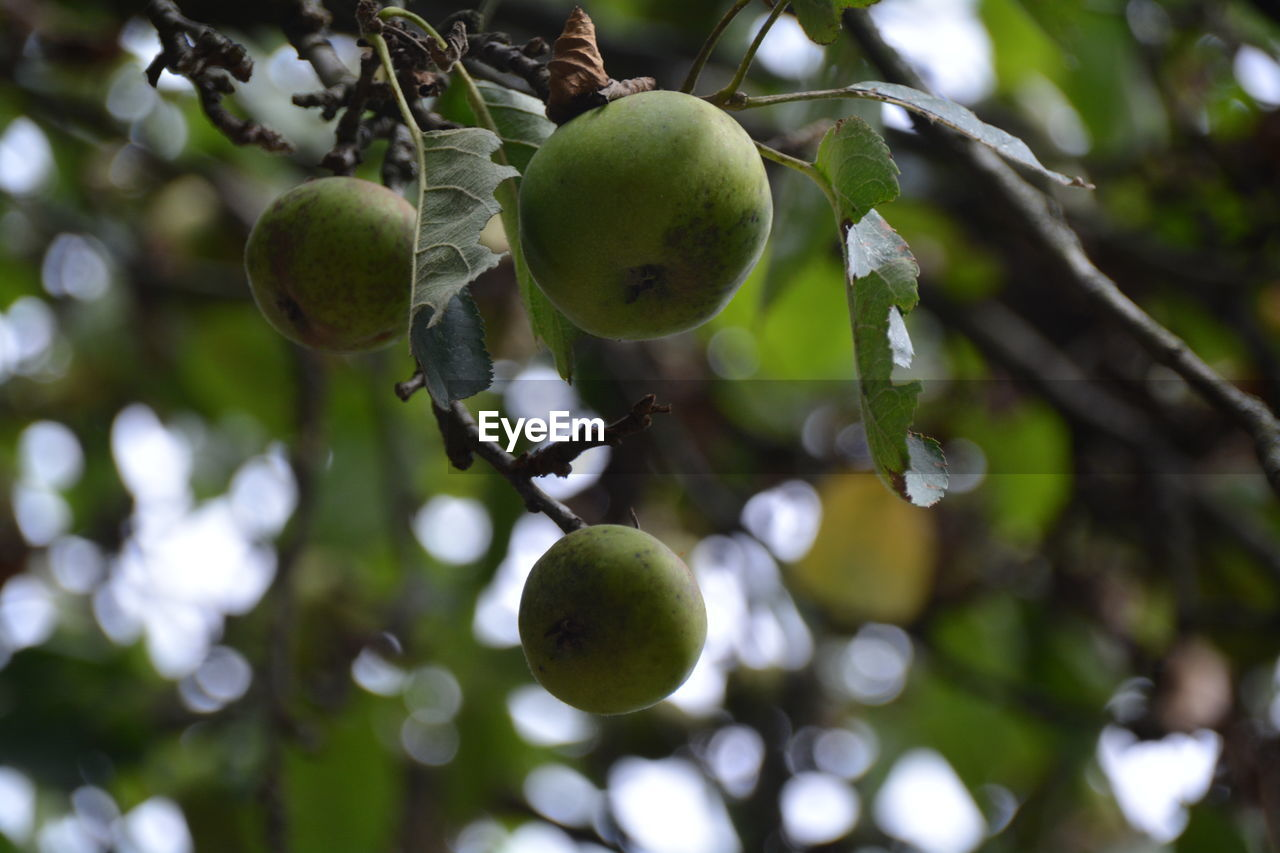 fruit, green color, tree, growth, food and drink, freshness, food, healthy eating, unripe, day, branch, no people, nature, outdoors, focus on foreground, close-up, low angle view, beauty in nature
