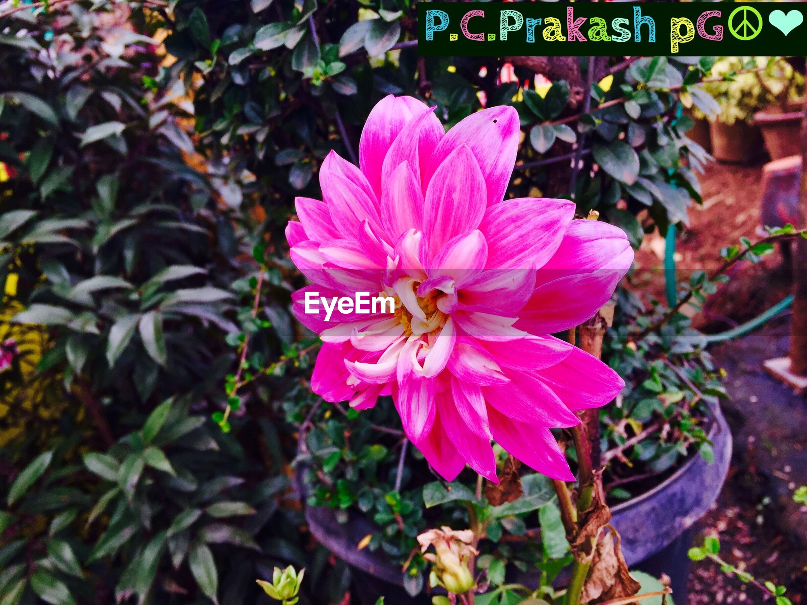 flower, freshness, petal, fragility, flower head, pink color, growth, beauty in nature, plant, blooming, leaf, nature, close-up, high angle view, in bloom, focus on foreground, outdoors, day, potted plant, no people