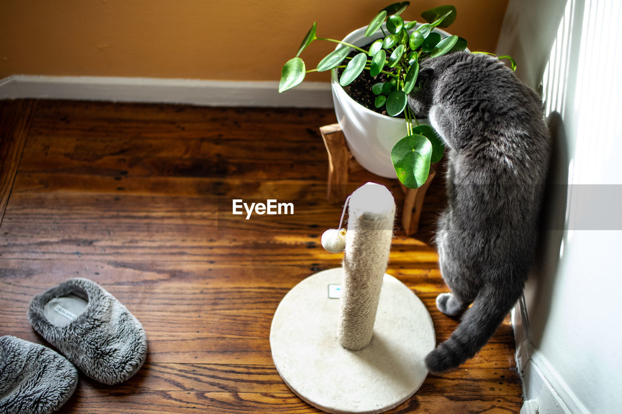 animal, mammal, animal themes, indoors, cat, one animal, feline, domestic cat, domestic, pets, domestic animals, no people, table, potted plant, food and drink, wood - material, vertebrate, home interior, plant, food, flower pot
