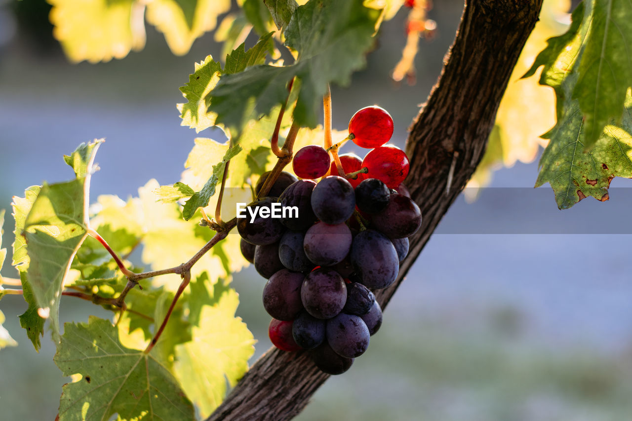 food and drink, healthy eating, food, fruit, focus on foreground, leaf, plant, plant part, freshness, growth, wellbeing, nature, red, no people, day, close-up, tree, berry fruit, beauty in nature, outdoors, ripe, rowanberry, winemaking
