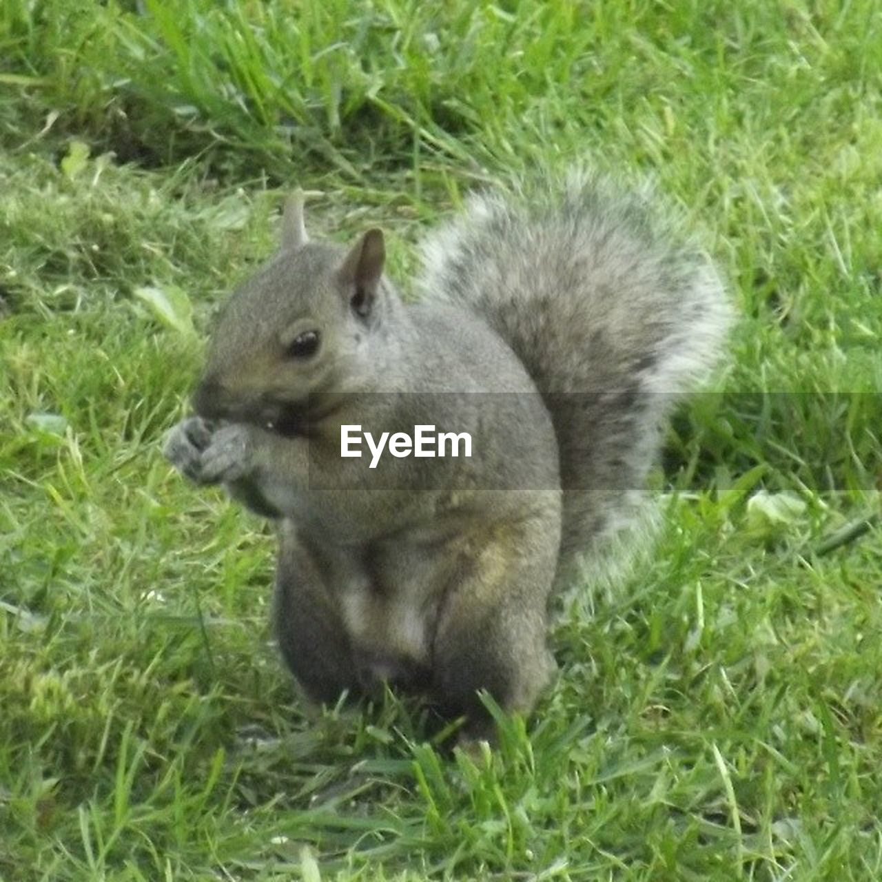 grass, one animal, animals in the wild, animal themes, animal wildlife, mammal, field, no people, outdoors, nature, day, squirrel, close-up