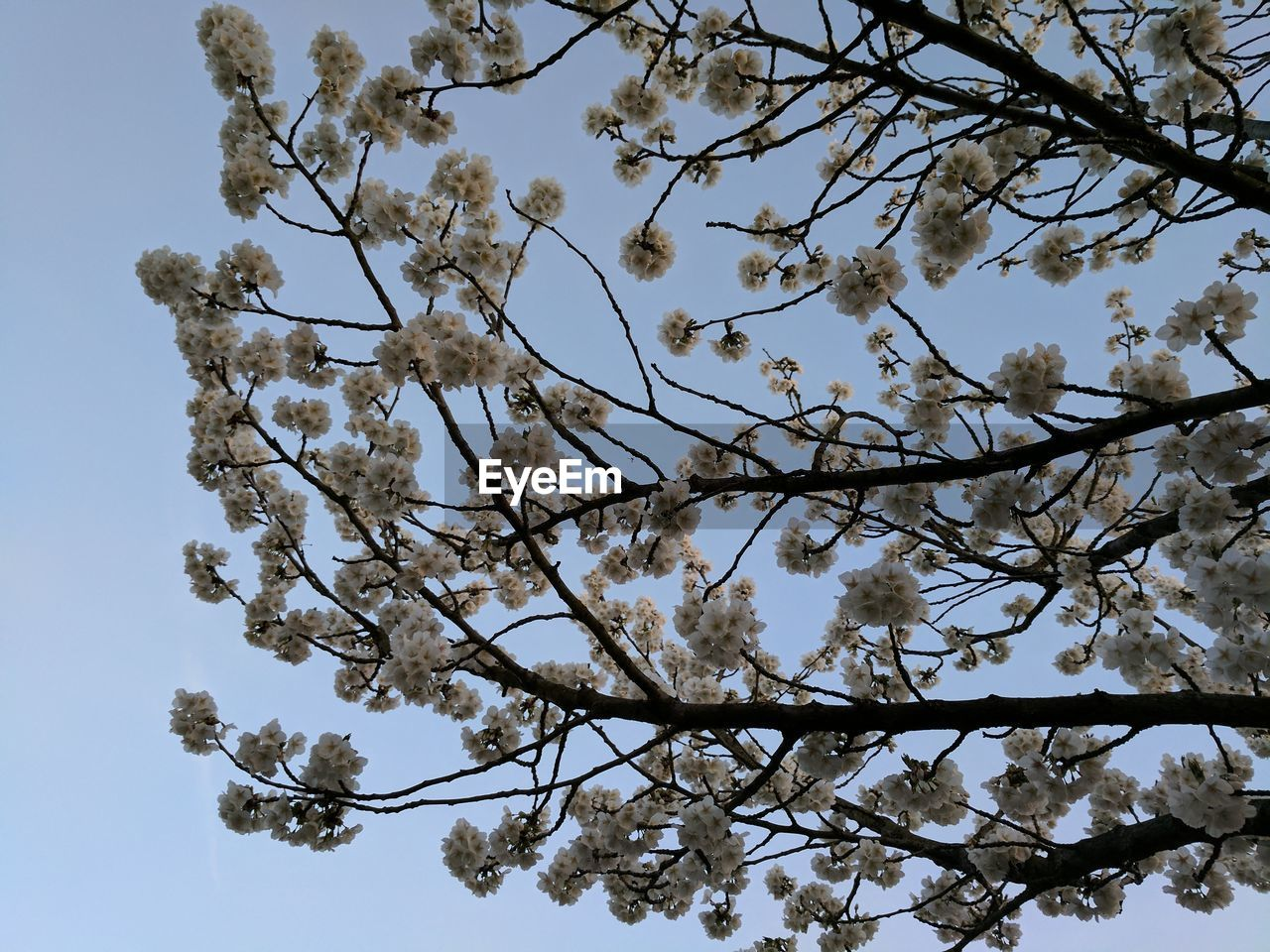 LOW ANGLE VIEW OF BLOSSOMS ON TREE