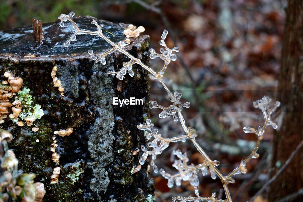 nature, day, focus on foreground, close-up, no people, outdoors, lichen, beauty in nature, winter, tree, tree trunk, cold temperature, fragility, water, animal themes