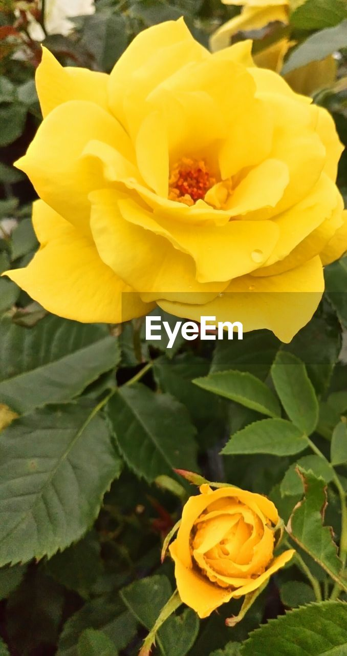 flower, petal, yellow, fragility, nature, flower head, beauty in nature, freshness, rose - flower, growth, blooming, plant, blossom, no people, close-up, outdoors, day