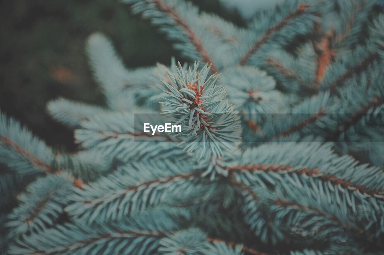 close-up, plant, growth, no people, selective focus, green color, day, focus on foreground, full frame, tree, nature, beauty in nature, backgrounds, pine tree, leaf, needle - plant part, pattern, branch, plant part, outdoors, coniferous tree