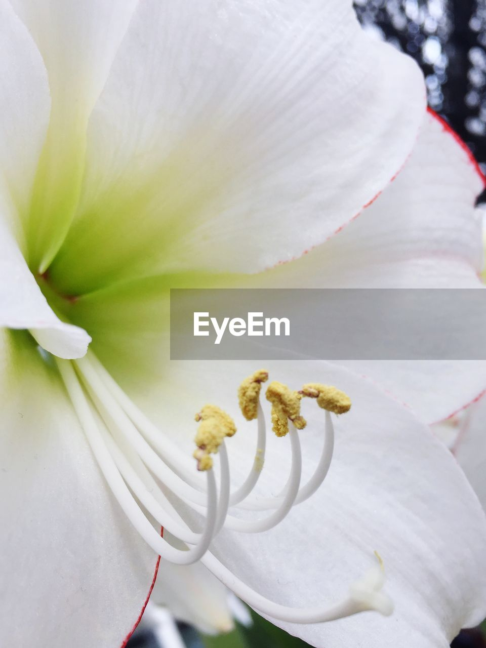 flower, white color, petal, fragility, beauty in nature, nature, close-up, growth, freshness, no people, flower head, stamen, day, plant, outdoors, blooming, tree