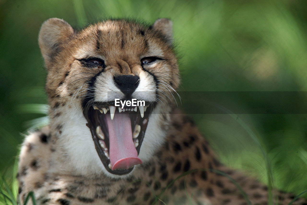 Close-up portrait of cheetah yawning in forest