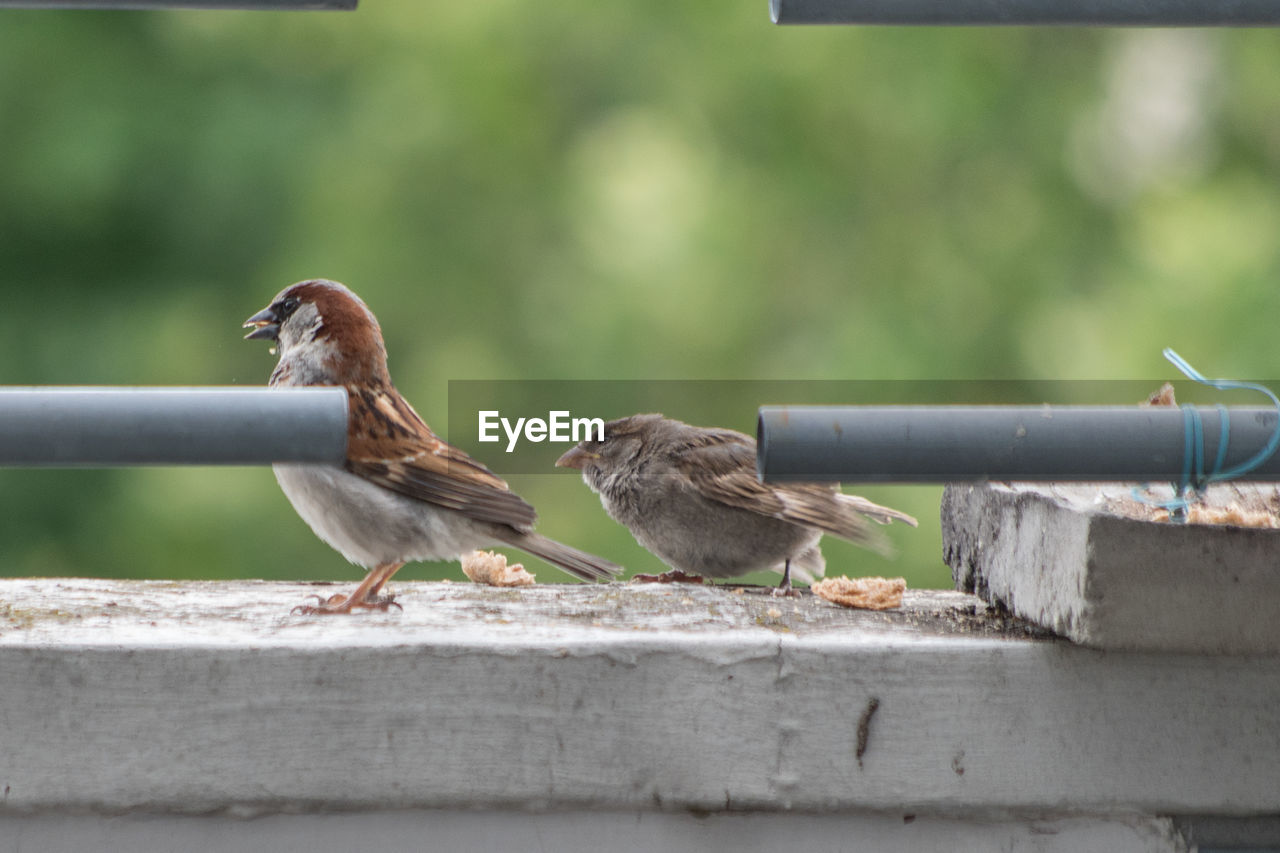 animal themes, day, animals in the wild, bird, focus on foreground, outdoors, sparrow, perching, wood - material, no people, retaining wall, close-up, nature