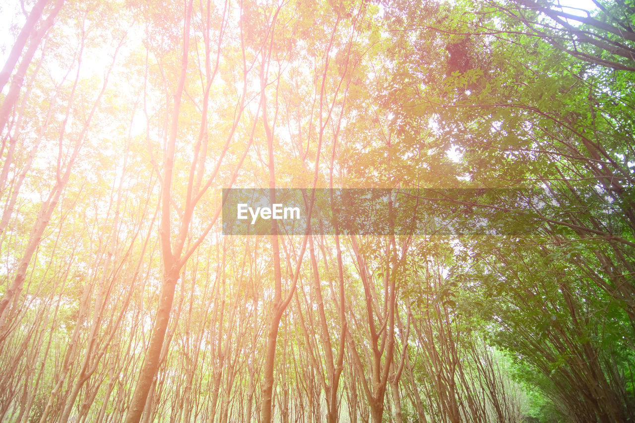 tree, plant, beauty in nature, low angle view, tranquility, forest, nature, growth, no people, day, land, sunlight, outdoors, bamboo - plant, full frame, backgrounds, tranquil scene, bamboo grove, scenics - nature, woodland, tree canopy, streaming