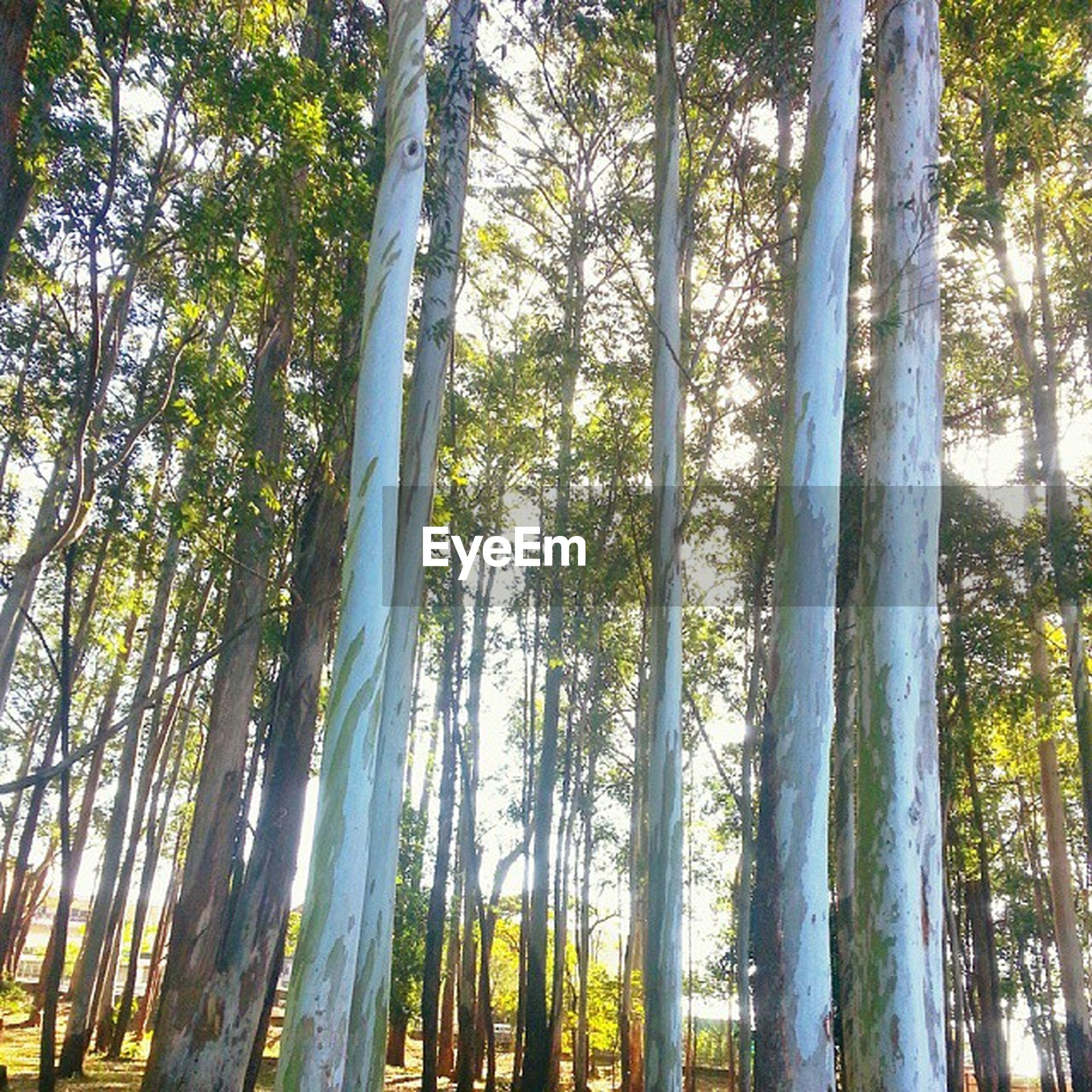 tree, tree trunk, growth, low angle view, forest, tranquility, woodland, nature, branch, beauty in nature, tall - high, tranquil scene, scenics, day, sunlight, green color, outdoors, no people, non-urban scene, sky