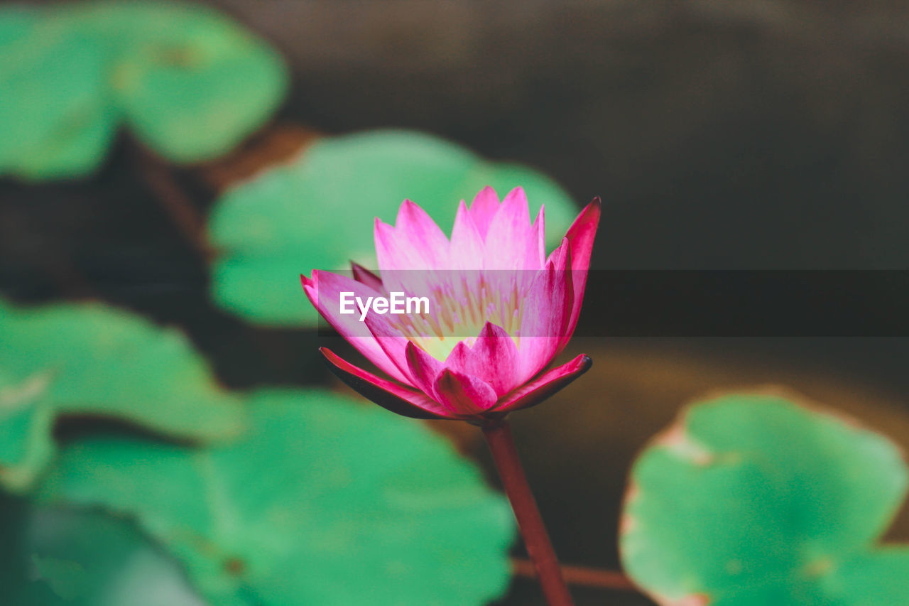 flower, freshness, flowering plant, vulnerability, plant, pink color, fragility, petal, close-up, beauty in nature, water lily, flower head, leaf, inflorescence, plant part, nature, growth, pond, no people, lotus water lily, floating on water, sepal