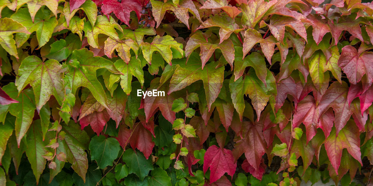 CLOSE-UP OF IVY DURING AUTUMN