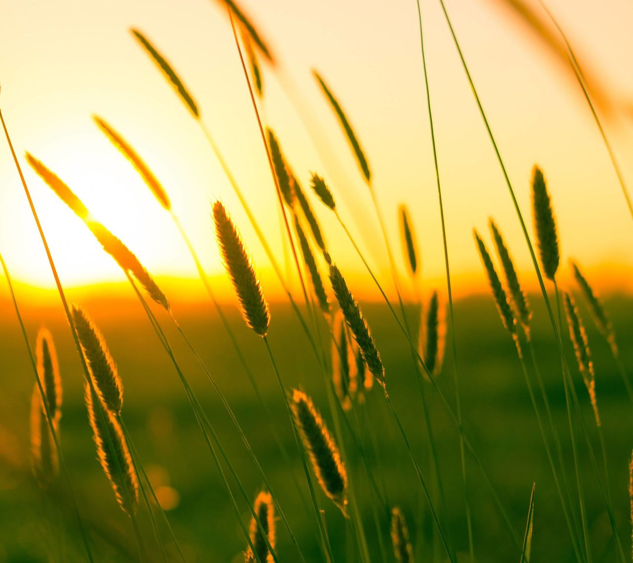 growth, nature, plant, field, sunset, beauty in nature, grass, crop, summer, tranquility, agriculture, no people, outdoors, tranquil scene, rural scene, wheat, cereal plant, freshness, close-up, scenics, flower, yellow, timothy grass, sky, day
