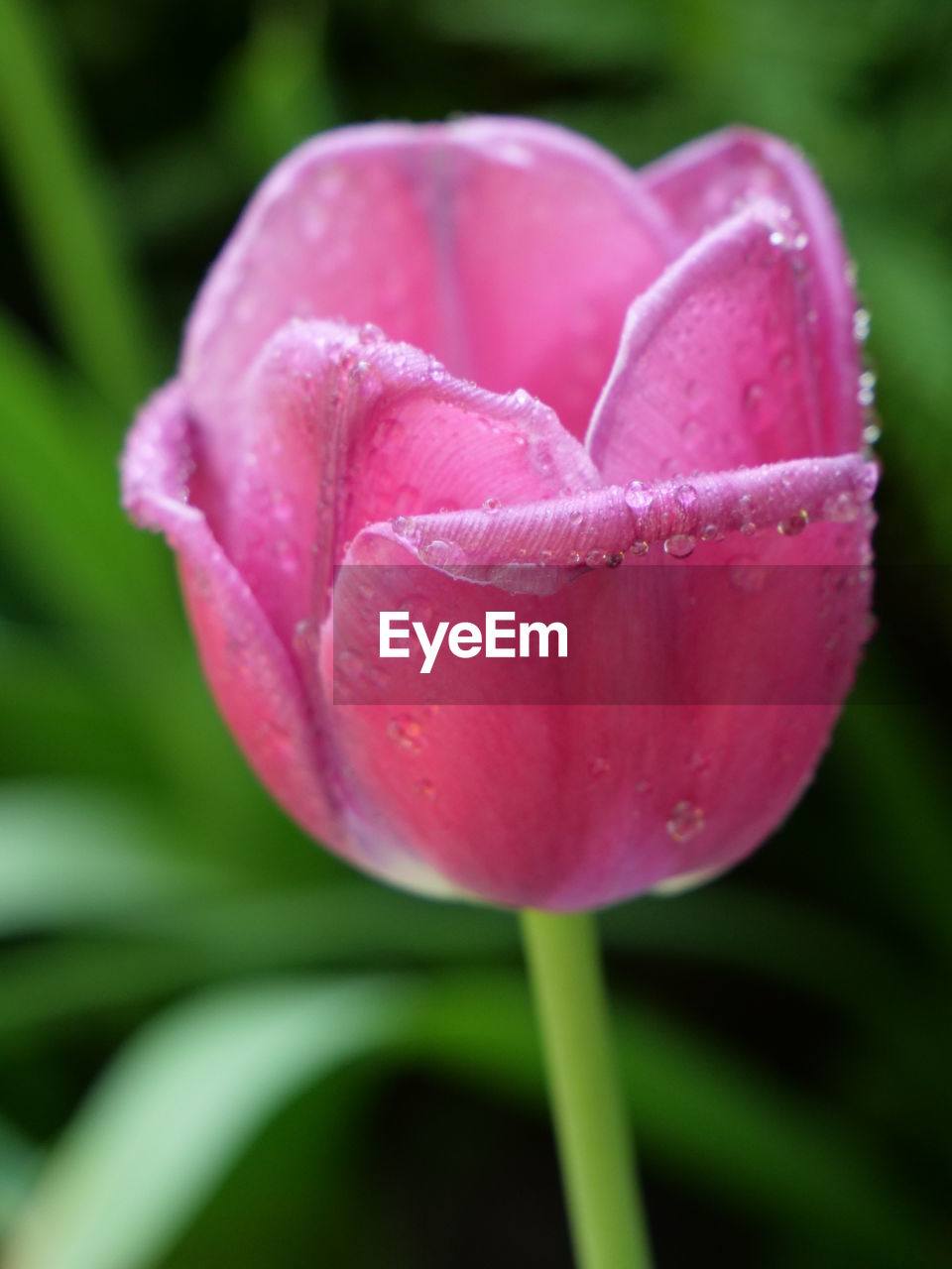 flower, vulnerability, flowering plant, plant, beauty in nature, fragility, freshness, growth, pink color, close-up, petal, inflorescence, flower head, no people, nature, day, wet, tulip, drop, outdoors, softness, dew