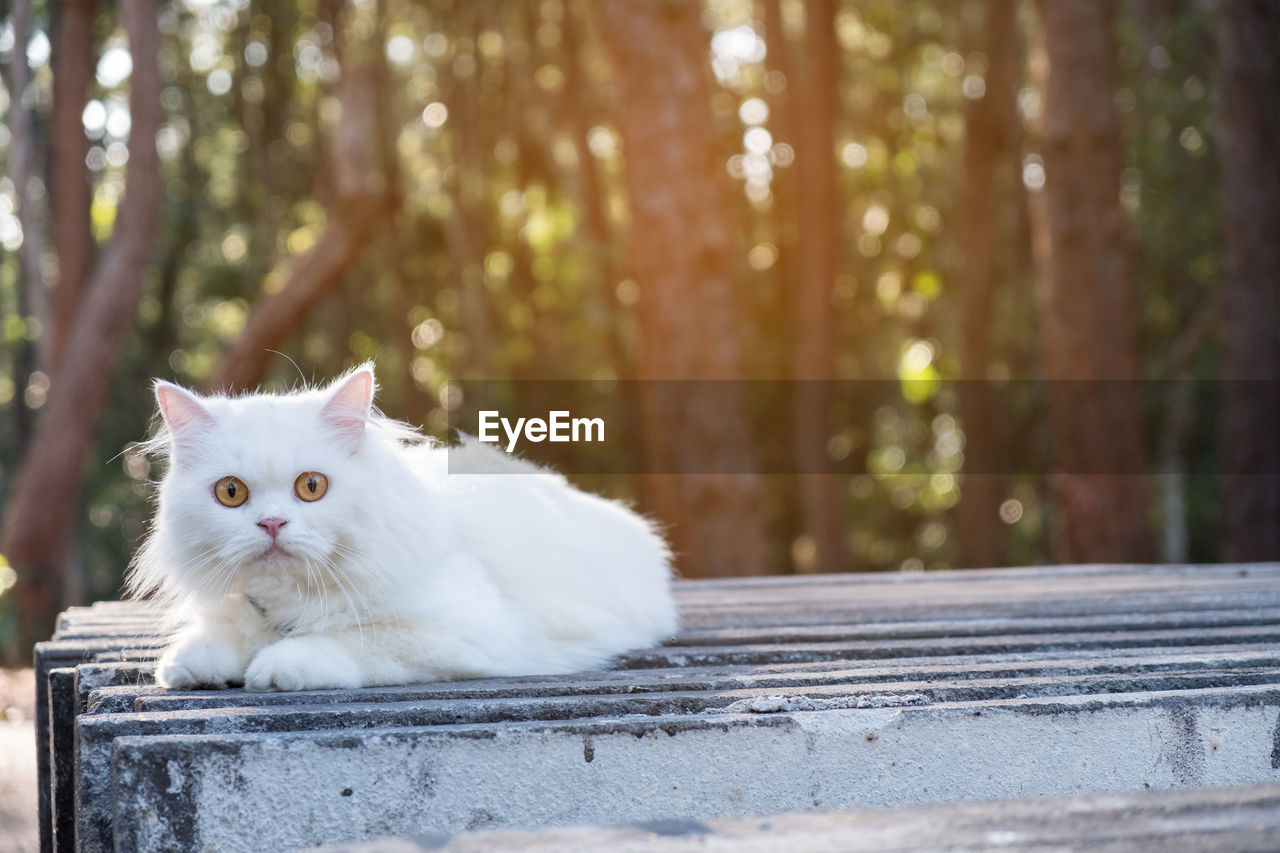 domestic, pets, animal themes, domestic animals, animal, one animal, mammal, cat, domestic cat, feline, vertebrate, portrait, looking at camera, tree, day, focus on foreground, no people, wood - material, sitting, white color, whisker, persian cat
