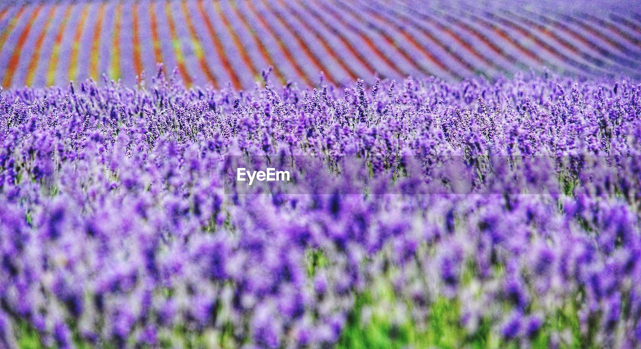 purple, lavender, lavender colored, flower, nature, beauty in nature, field, scented, growth, no people, plant, fragility, close-up, scenics, backgrounds, perfume, day, outdoors, freshness