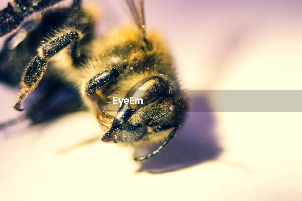 animal themes, animal, invertebrate, insect, one animal, close-up, animals in the wild, bee, animal wildlife, selective focus, no people, beauty in nature, nature, indoors, animal body part, bumblebee, studio shot, focus on foreground, pollination