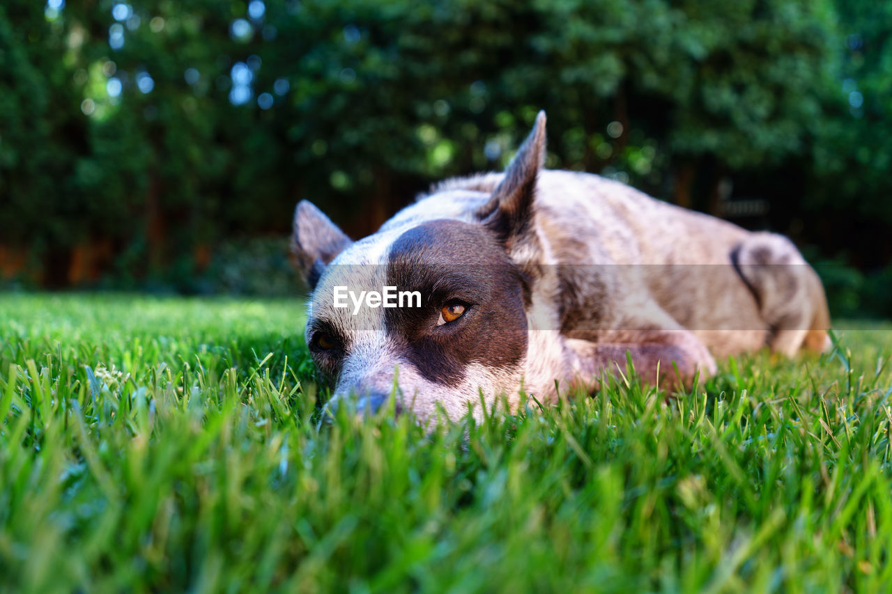 Close-up of dog lying on grass in back yard