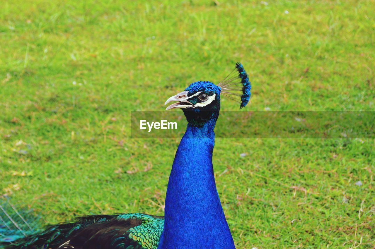 animal themes, peacock, animal, bird, one animal, vertebrate, animal wildlife, animals in the wild, grass, nature, blue, day, green color, plant, no people, focus on foreground, field, animal's crest, outdoors, beauty in nature, animal head, animal neck