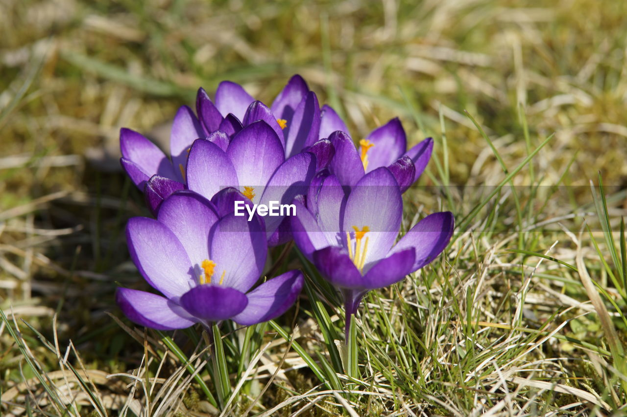 flower, petal, purple, beauty in nature, nature, growth, freshness, fragility, flower head, field, no people, close-up, crocus, day, plant, outdoors, blooming